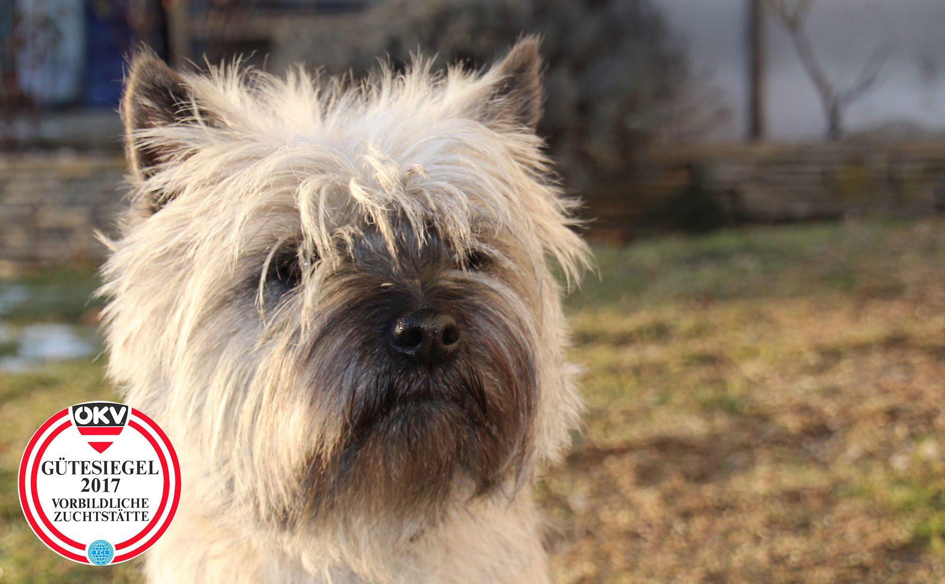 Cairn Terrier Zwinger </br>Styrian Dream
